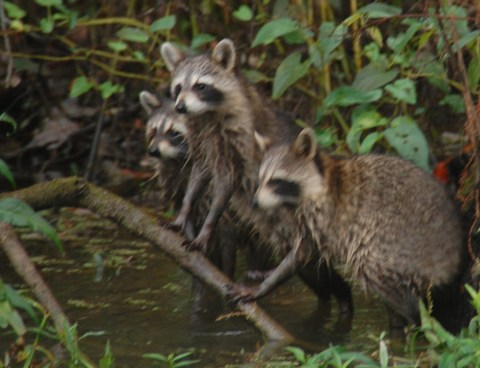 Racoons in the swamp